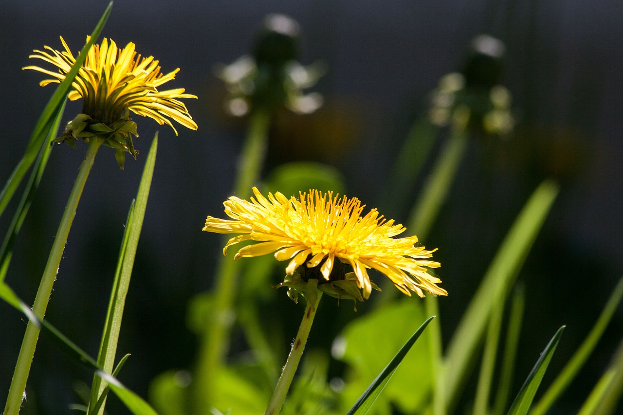 Dandelion management turf programs MA